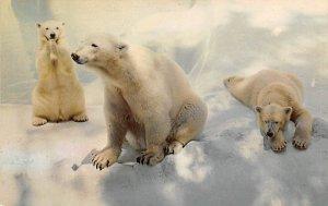 Polar Bear with Cubs, San Diego Zoo California, USA Bear Unused