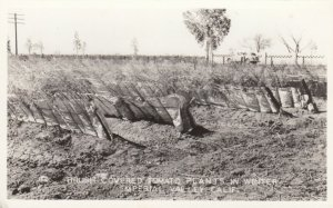 RP: IMPERIAL VALLEY , California, 1930s ; Brush Covered Tomato Plants