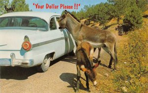Your Dollar Please!! Custer State Park, SD Donkeys c1950s Vintage Postcard