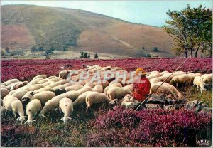 Postcard Modern Limousin The Picturesque Monedieres Sheep Breeding