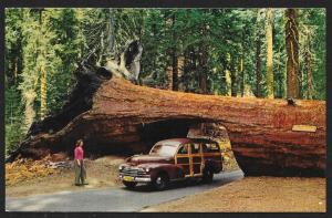 Car in Tree Tunnel Sequoia National Park Unused c1950s