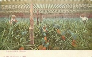 C-1905 Farm Agriculture Pineapples Florida Postcard Kropp 2469
