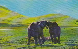 Elephants Male African Elephant