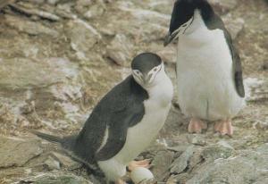 The Farne Islands Penguins Guillemots & Kittiwakes Bird 1970s Postcard