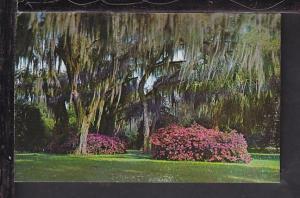 Azaleas,Winter Park,FL Postcard