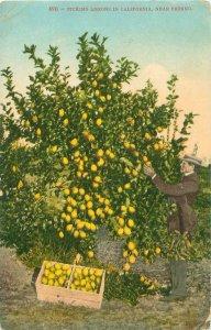 Picking Lemons in California Near Fresno 1912 Postcard, Man and Crate