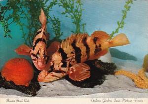 Canada Victoria Banded Rock Fish Undersea Gardens Inner Harbour