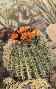Barrel Cactus In Bloom Curteich