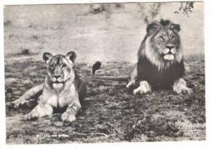 RP, Lion & Lioness, South Africa, 1930-1950s