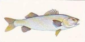 Craven Black Cat Vintage Cigarette Card Sport Fish No 46 Bass