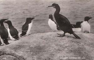 Guillemot Razorbill Shag Bird Real Photo Postcard Mint