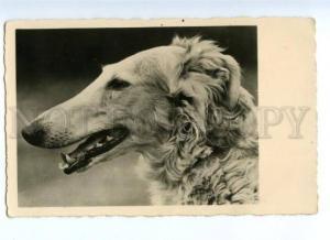 168798 HUNT Dog BORZOI vintage PHOTO PC