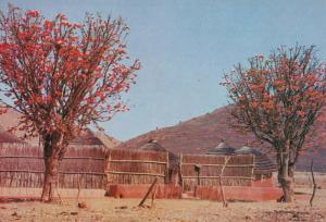 Transvaal Flower Flowering Kaffirboom Kraal South Africa Postcard