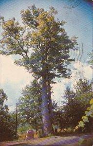 The Big Basswood Tree Tannersville Pennsylvania 1962