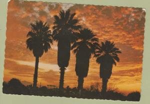 Postcard PALMS IN THE SUNSET Scenic Unposted Chrome