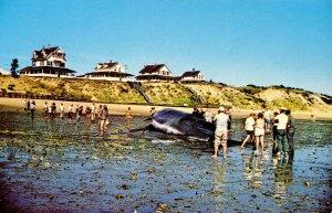 MA - Cape Cod. Whale Aground
