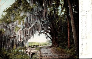 Florida Ormond The Royal Arch Oak On River Road To No 9 1907