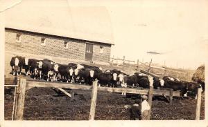 Cobden MN Cattle Herd Assembles by HH Schultz Farm~Shutt of Sleepy Eye RPPC 1910
