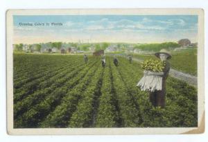 W/B Growing Celery in Florida FL