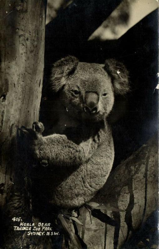 australia, SYDNEY, N.S.W., Taronga Zoo Park, Koala Bear (1930s) RPPC