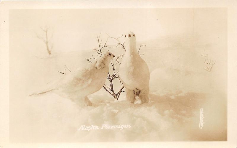 Alaska~Ptarmigan Birds in Snow~1930s Bragaws RPPC Postcard
