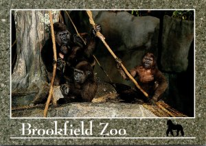 Illinois Chicago Brookfield Zoo Western Lowland Gorilla