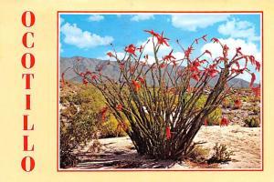 Ocotillo Blooms - Tempe, Arizona