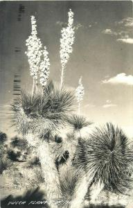 United States scenic real photo postcard yucca plant