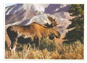 Alaska Bull Moose McKinley Park Alaska Imp Prints Postcard