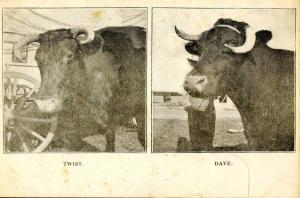 Ezra Meeker. Twist and Dave, Ezra's Oxen