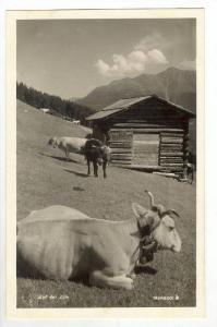 RP  Dairy cows, Auf der Alm, Austria, 1910s