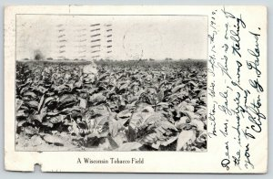 Milton Wisconsin~Tobacco Field~Grown Plants~1908 B&W Postcard