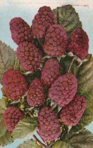 Fruit Loganberries Edward H Mitchell