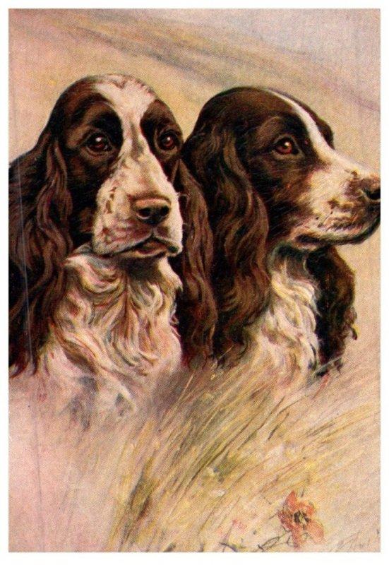 Dog Springer Spaniel