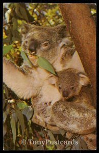 Koala and Baby - San Diego Zoo, Australia