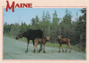 Maine Cow Moose With Twin Calves