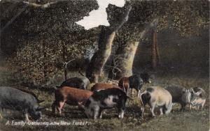 New Forest Hampshire UK~Wild Boar Family Gathering~F Broomfield Publ POSTCARD