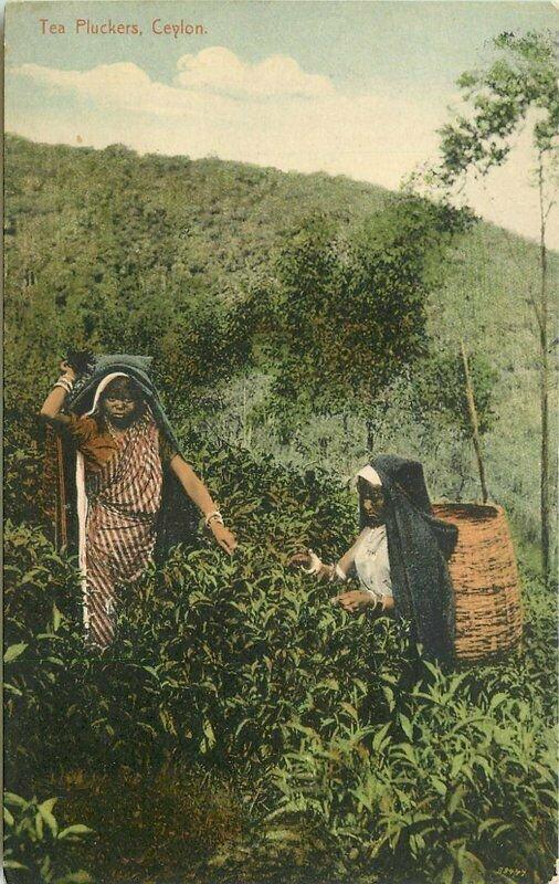 Sri Lanka SE Asia C-1910 Tea Pickers farm agriculture Ceylon Postcard 21-7116