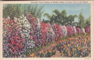 Florida Flowers Hedge Of Sweet Peas In Full Bloom 1942 Curteich