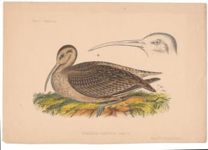 Curlew Numenius Tahiticus Cmdre Perry Japan Expedition 1856 Wm Hitchcock Litho