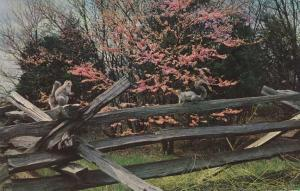 Squirrels on Fence - pm 1971 at Wardensville, West Virginia
