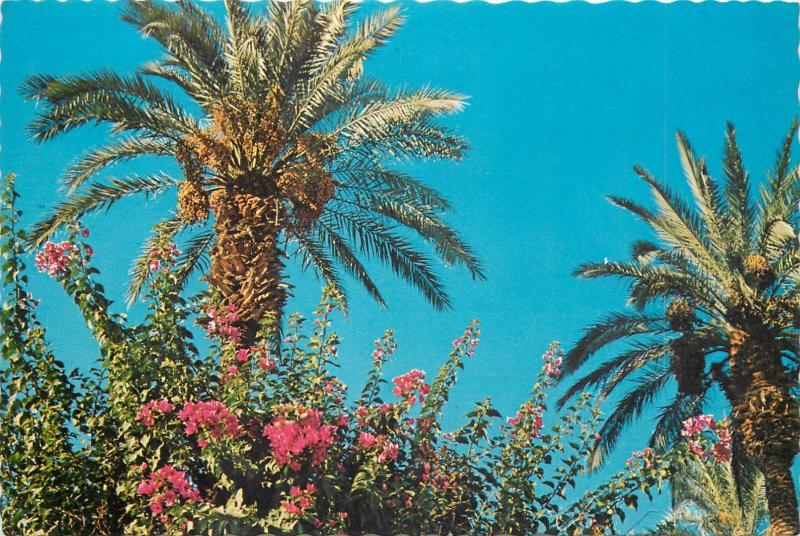 Date Palms framed in a cluster of bougainvillea
