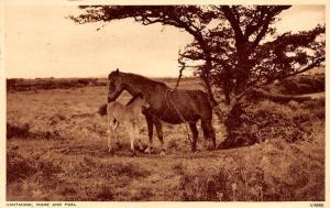 England Dartmoor Mare and Foal, Horse, Cheval, Pferde 1957