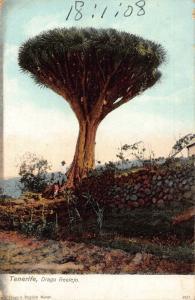 Spain Tenerife Drago Realejo Postcard