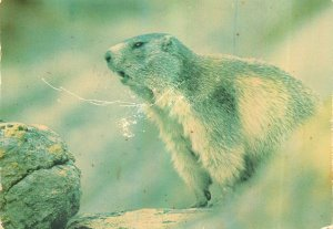 Postcard Animals images de chez nous la marmotte wild nature natural