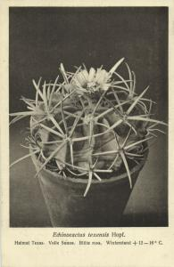 Cactus Cactaceae, Echinocactus Texensis Hopffer (1920s) Otto Stoye Postcard