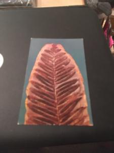Vtg Postcard: Fossil Leaves, Found Near Coal City Illinois