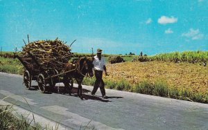BARBADOS, W.I., 1950-1960s; Native Mule Cart