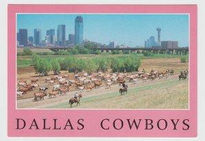 Texas Dallas Cowboys Cattle Drive Postcard