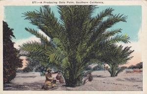 A Producing Date Palm,  Southern California,  Los Angeles,  00-10s